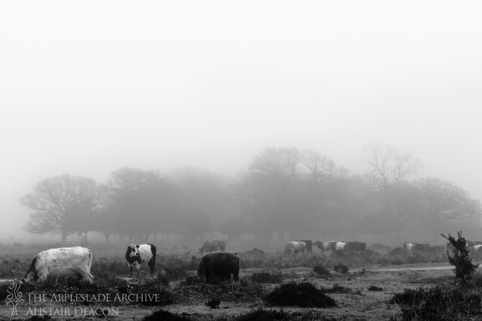 Cattle on Ashley Walk, New Forest, Hampshire, 19th March 2013