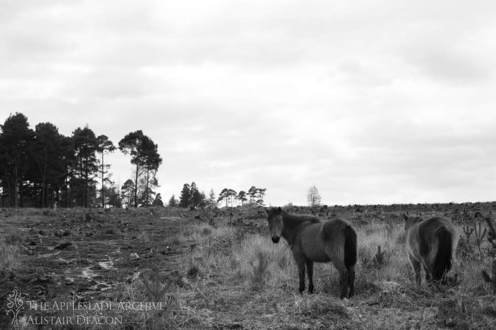 New Forest Ponies on a cleared section of forest, Slufters Wood, New Forest, Hampshire, 5th April 2013