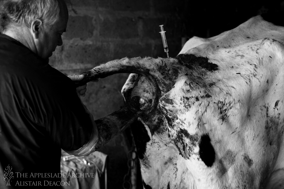 Preparing to implant an embryo into a cow, Ayles Farm, Avon, Dorset, 3rd May 2013