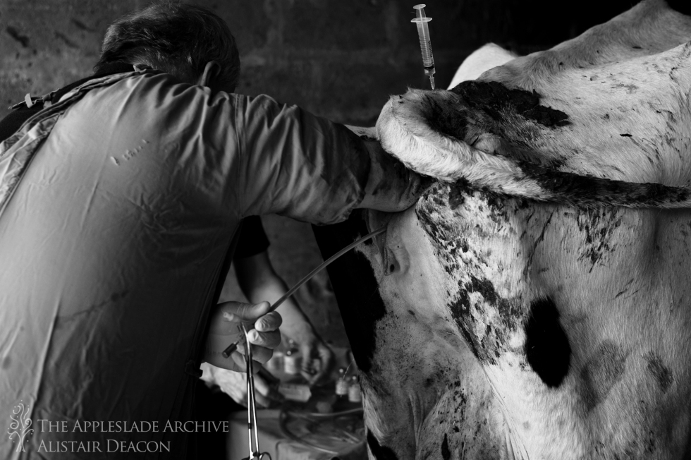 Implanting an embryo into a cow, Ayles Farm, Avon, Dorset, 3rd May 2013