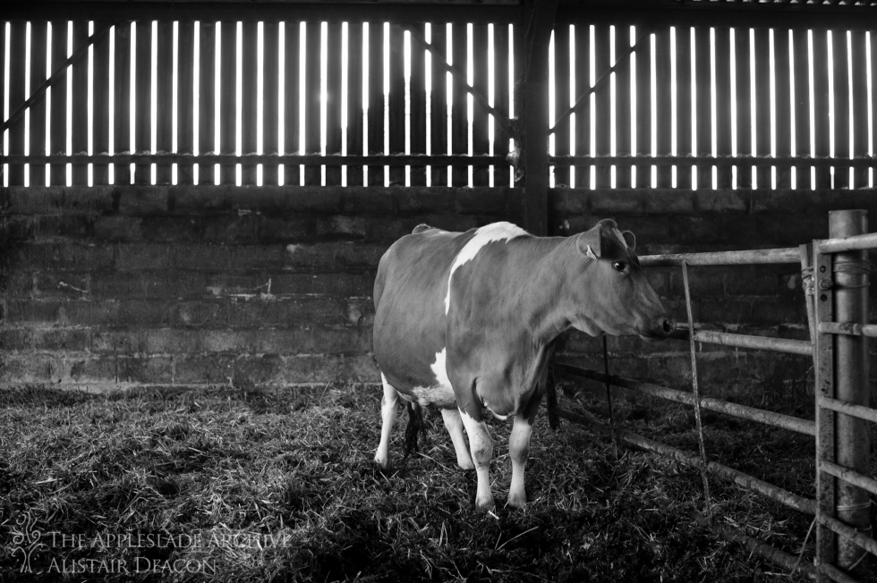 A pregnant cow in an isolation pen, Ayles Farm, Avon, Dorset, 3rd May 2013