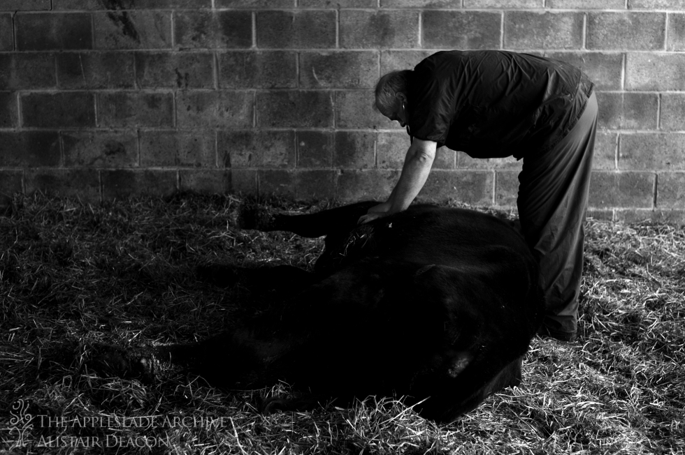 Dave Coombes examining a cow, Cross Lanes Farm, Southampton, Hampshire, 3rd May 2013