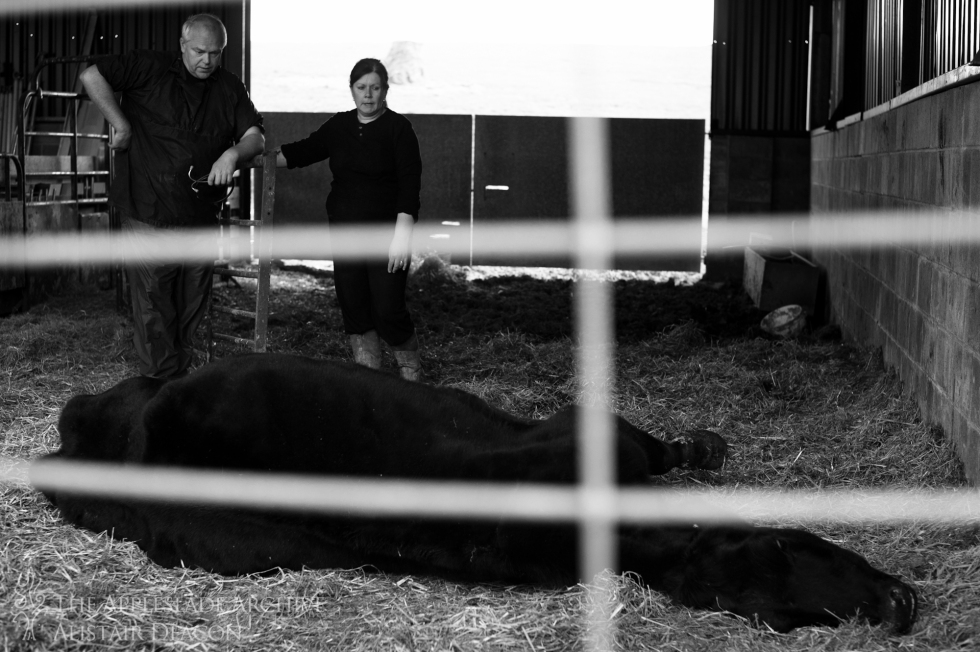 A cow with heart failure that has just been put down, Cross Lanes Farm, Southampton, Hampshire, 3rd May 2013
