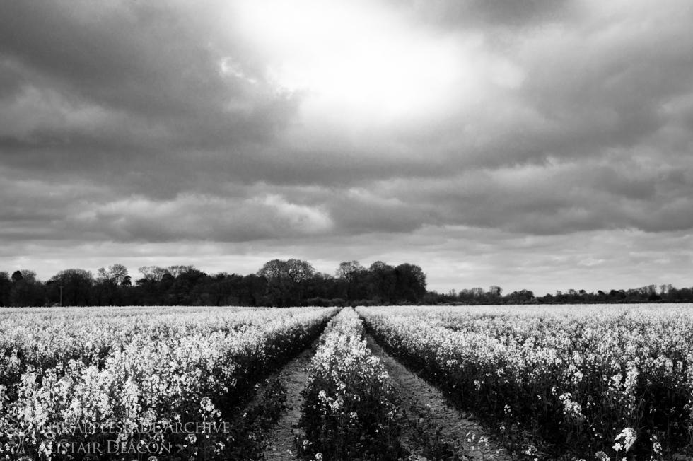 A field of Oilseed Rape, Avon, Dorset, 3rd May 2013