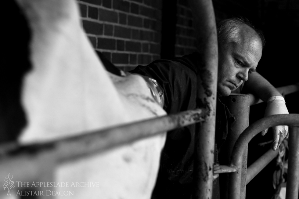 Dave Coombes, the local vet, examines a cow in a routine post calving examination, Bassetts Farm, Basingstoke, Hampshire, 7th June 2013
