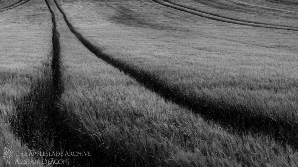 Wheat field, Bere Regis, Dorset, 22nd June 2013
