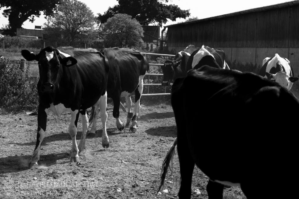 Holstein Friesians, Ayles Farm, Avon, Dorset, 12th July 2013