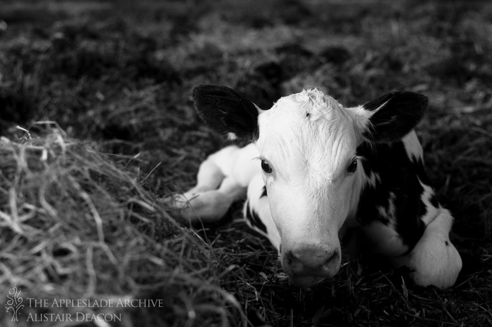 A 14 hour old heifer calf, Ayles Farm, Avon, Dorset, 17th July 2013