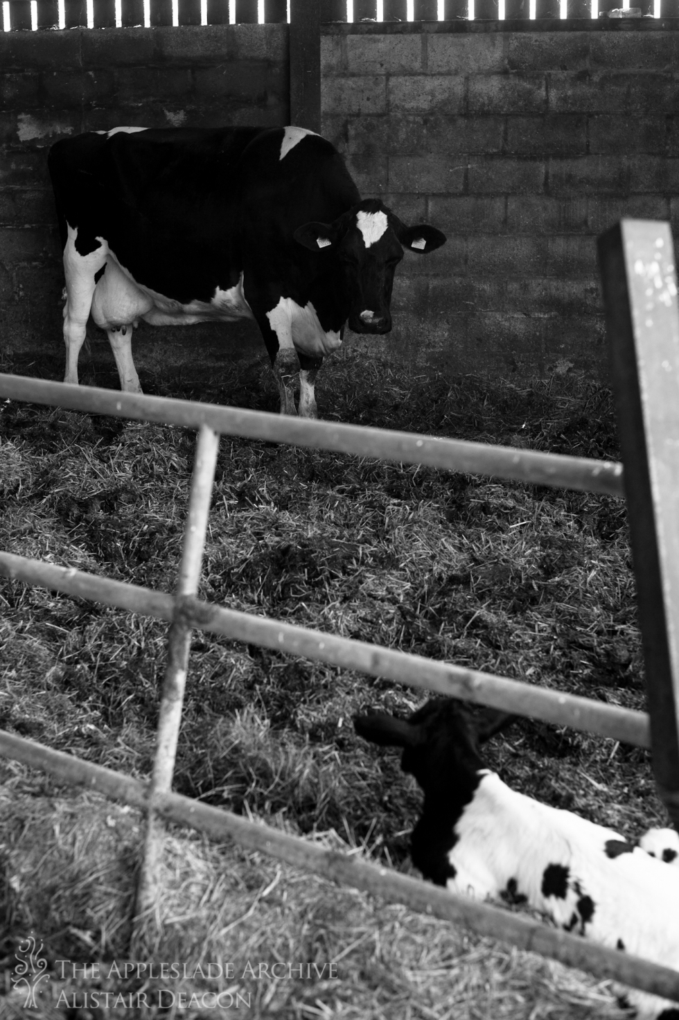 A cow looks at a recently born bullcalf, Ayles Farm, Christchurch, Dorset, 17th July 2013