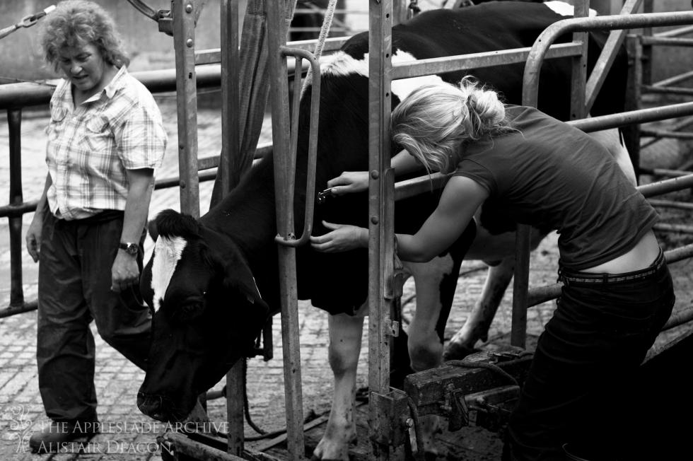 TB testing cattle, Ayles Farm, Christchurch, Dorset, 9th Aug 2013