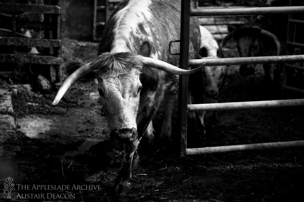 A Longhorn in the yard, Toms Farm, Linwood, New Forest, Hampshire, 12th Aug 2013