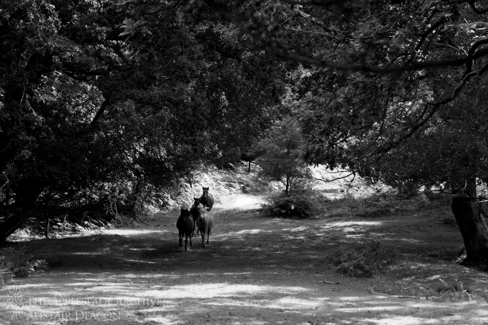 New Forest Ponies being rounded up on a drift, Broomy, New Forest, Hampshire, 21st Aug 2013