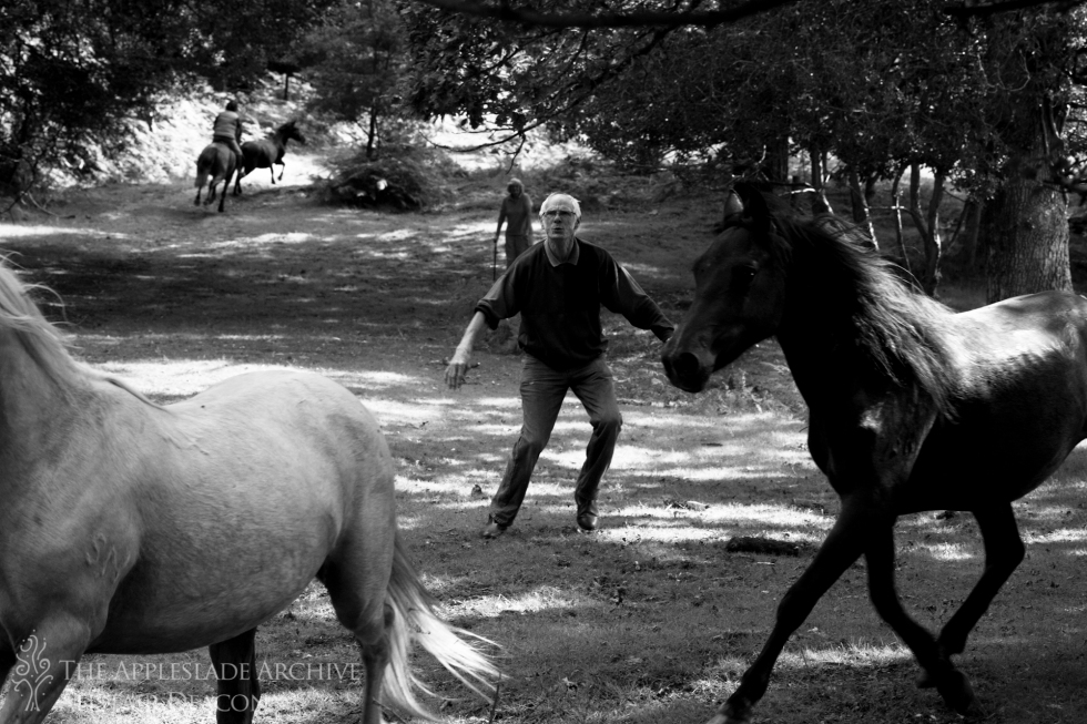 Rounding ponies into the pen on a drift, Broomy, New Forest, Hampshire, 21st Aug 2013