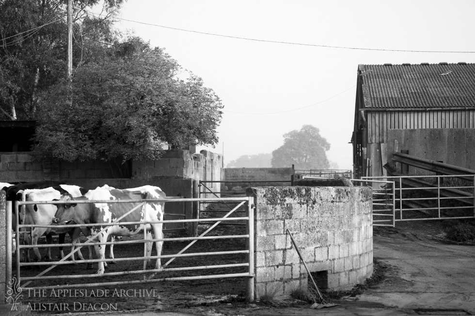 Cattle in the yard waiting to be milked, Ayles Farm, Avon, Dorset, 28th Aug 2013