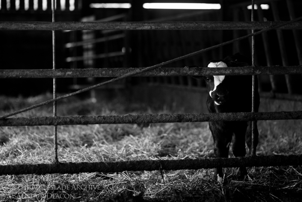 A Fresian Cross calf, Steeles Farm, Newbury, Berkshire, 7th June 2013