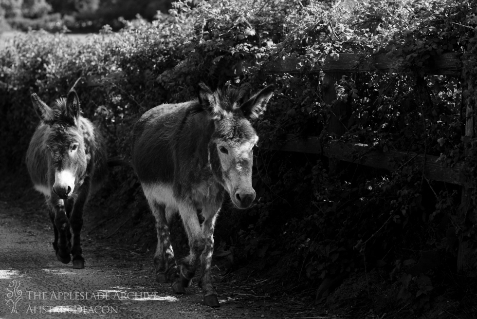Donkeys on the road, Linwood, New Forest, Hampshire, 9th June 2013