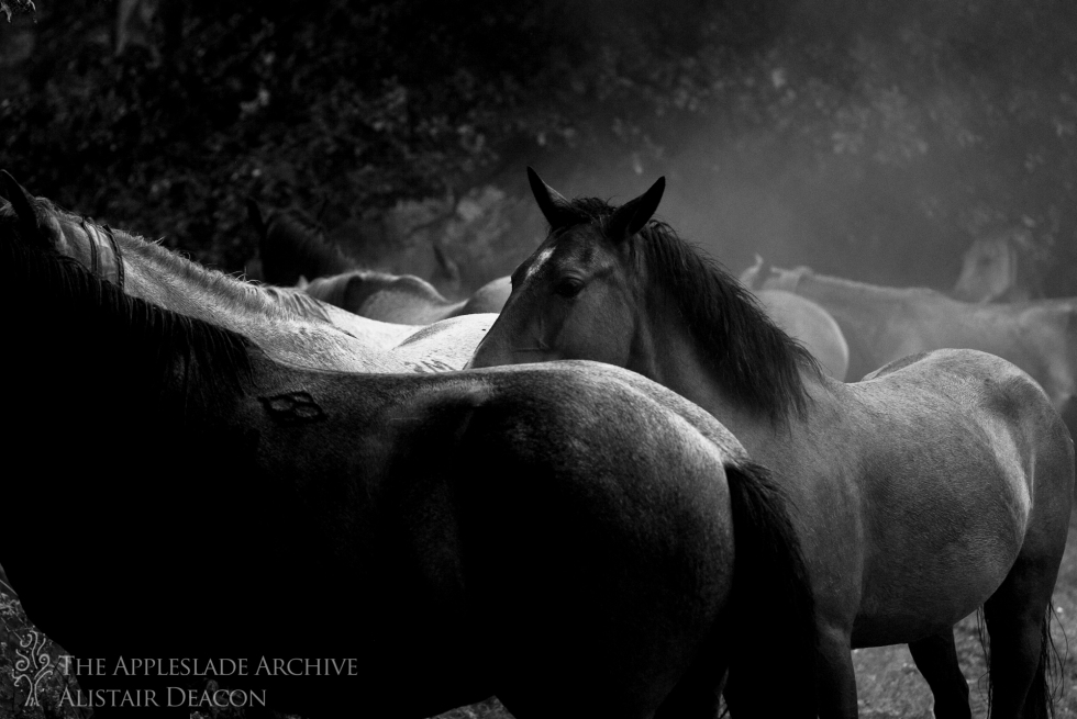 New Forest Ponies brought in on a drift, Bratley Arch, New Forest, Hampshire, 16th Aug 2013