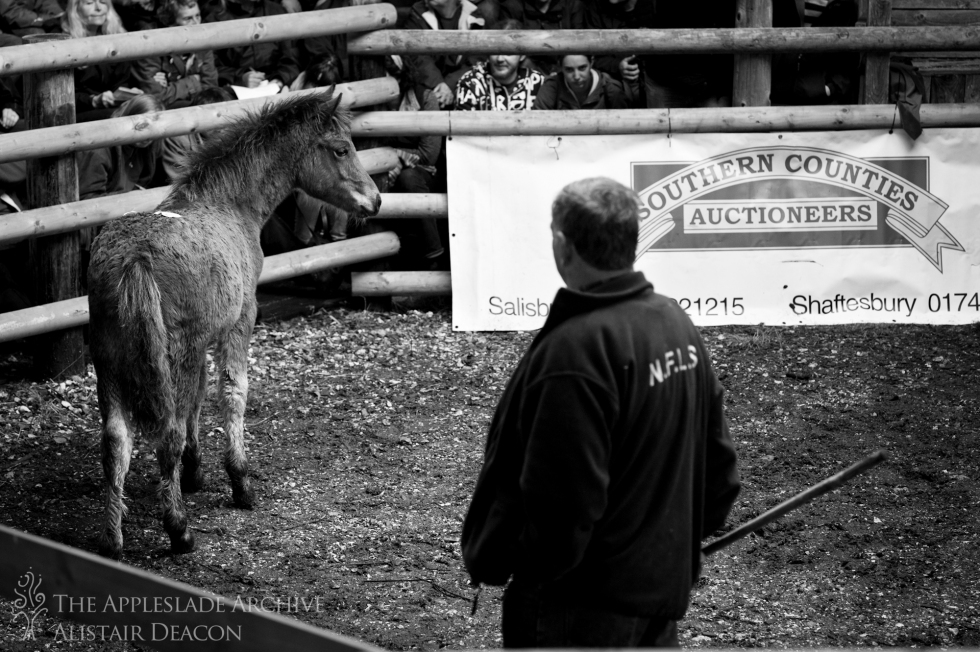 A foal in the sale ring, Beaulieu Road, New Forest, Hampshire, 23rd Oct 2013