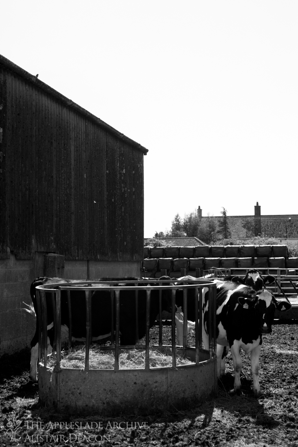 Heifers waiting to be fed, Ayles Farm, Avon, Dorset, 20th Aug 2013