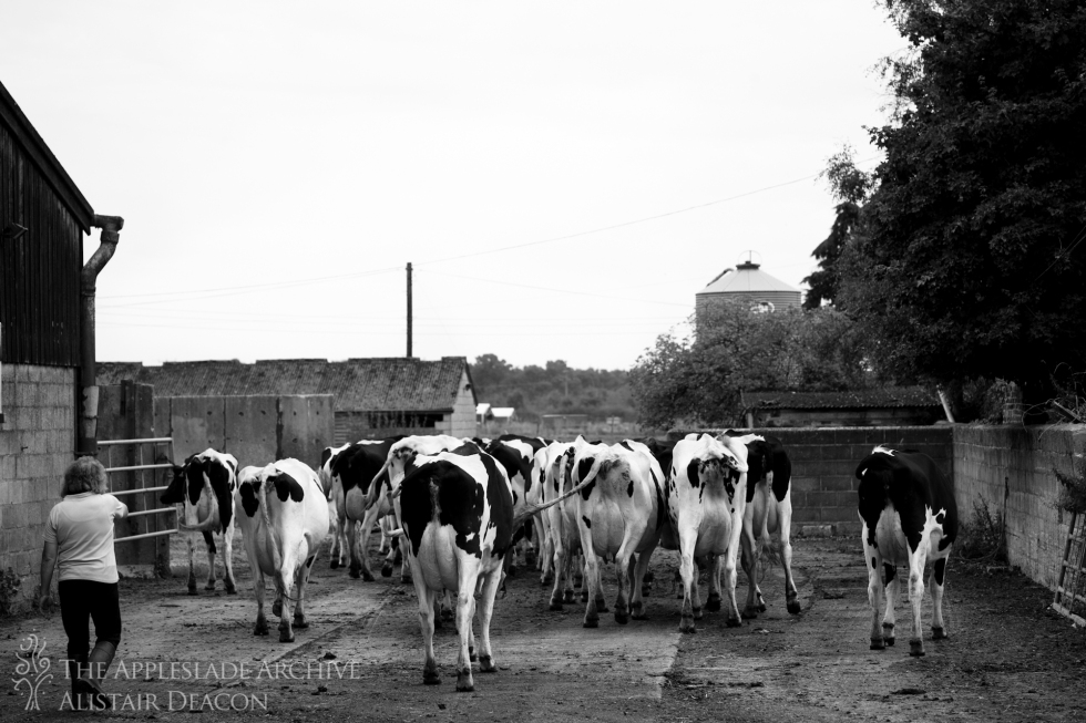 Caroline Moody brings the cows in for afternoon milking, Ayles Farm, Avon, Dorset, 23rd Aug 2013