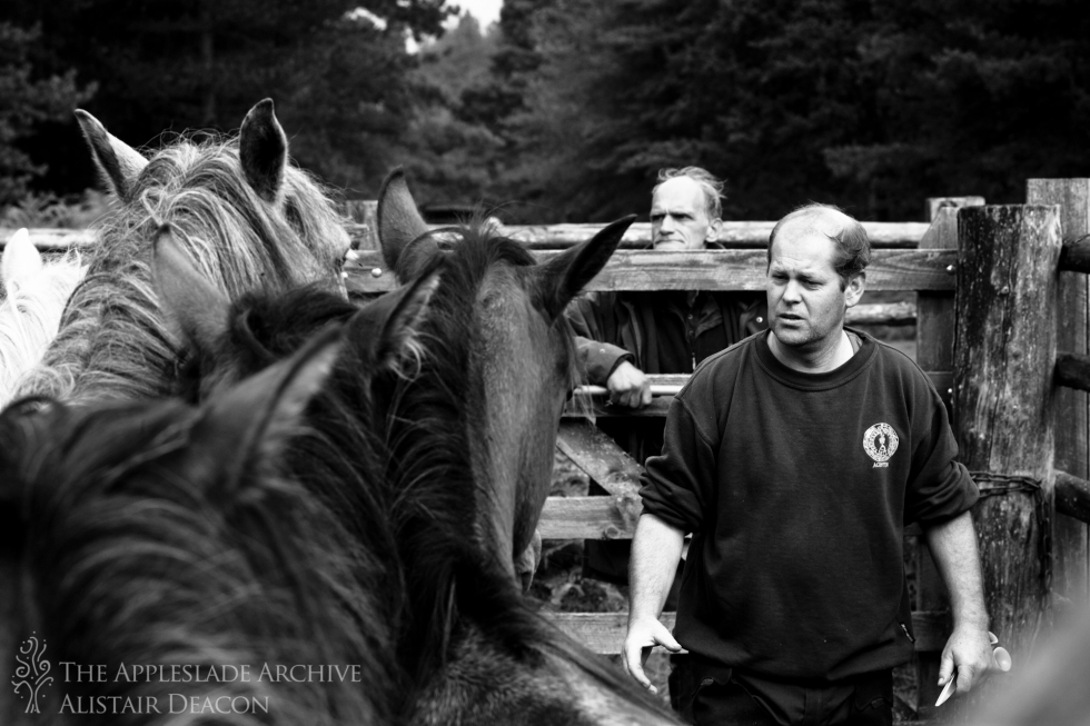 Andrew Napthine marking ponies at Slufters Drift, Slufters Wood, New Forest, Hampshire, 13th Sept 2013