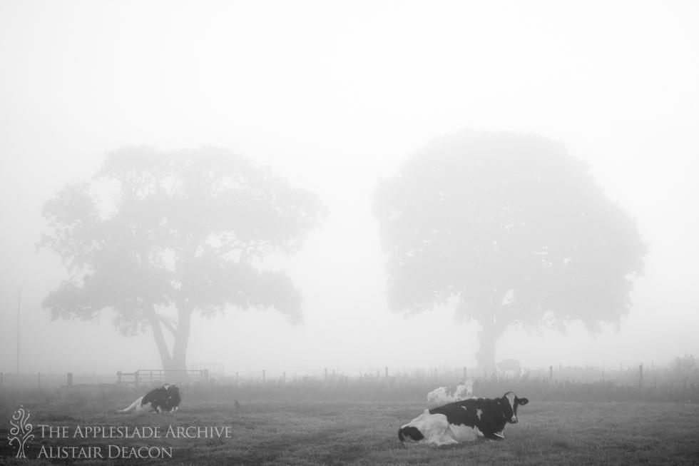 Cattle in the early morning mist, Ayles Farm, Avon, Dorset, 15th Sept 2013