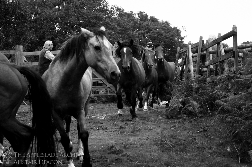 New Forest Ponies being brought into the pound at Backley Drift, Bratley Wood, New Forest, Hampshire, 22nd Sept 2013