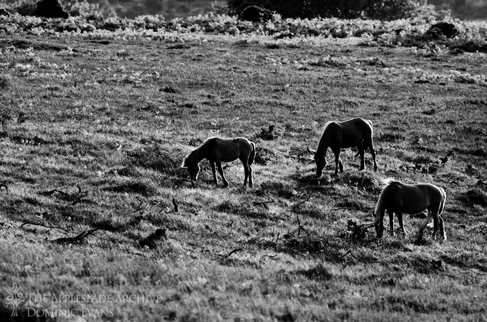 New Forest Ponies grazing in the evening light, Ashley Walk, New Forest, Hampshire, 7th June 2013