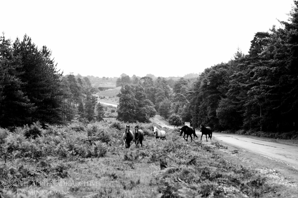 Ponies being rounded up on the Slufters Drift, Slufters Wood, New Forest, Hampshire, 13th Sept 2013