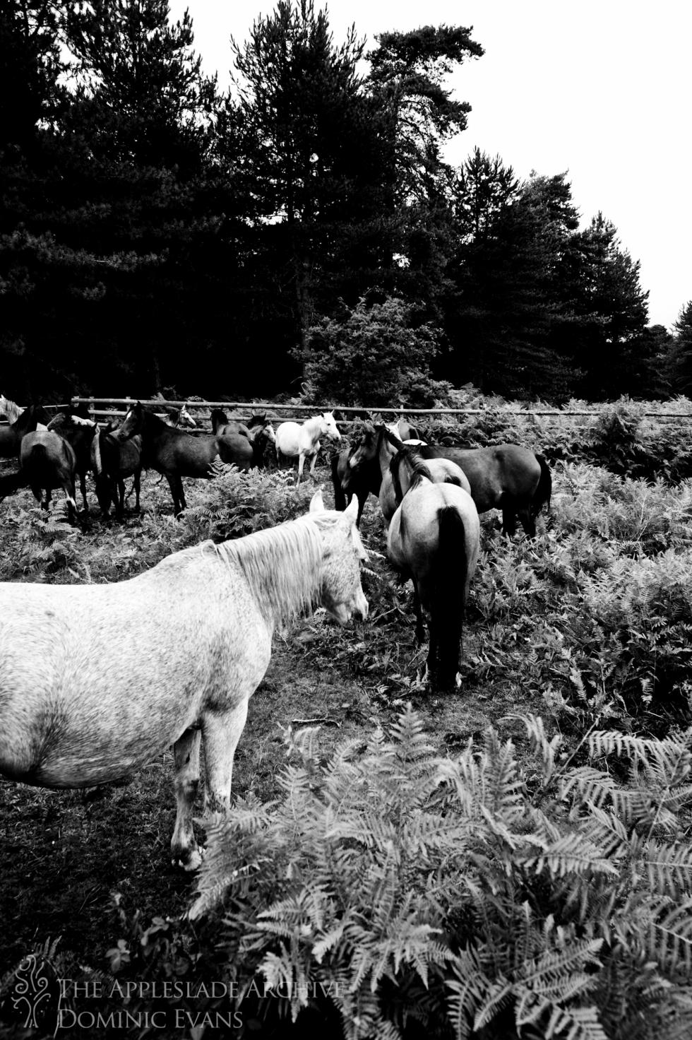 Ponies in the pen waiting to be checked, Slufters Drift, Slufters Wood, New Forest, Hampshire, 13th Sept 2013