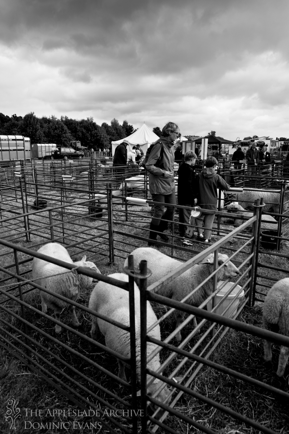 Sheep at Romsey Show, Romsey, Hampshire, 14th Sept 2013