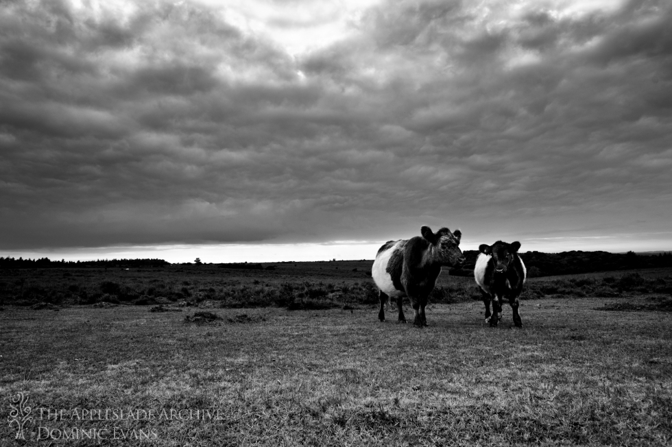 Cattle Nr. Stoney Cross, New Forest, Hampshire, 14th Sept 2013