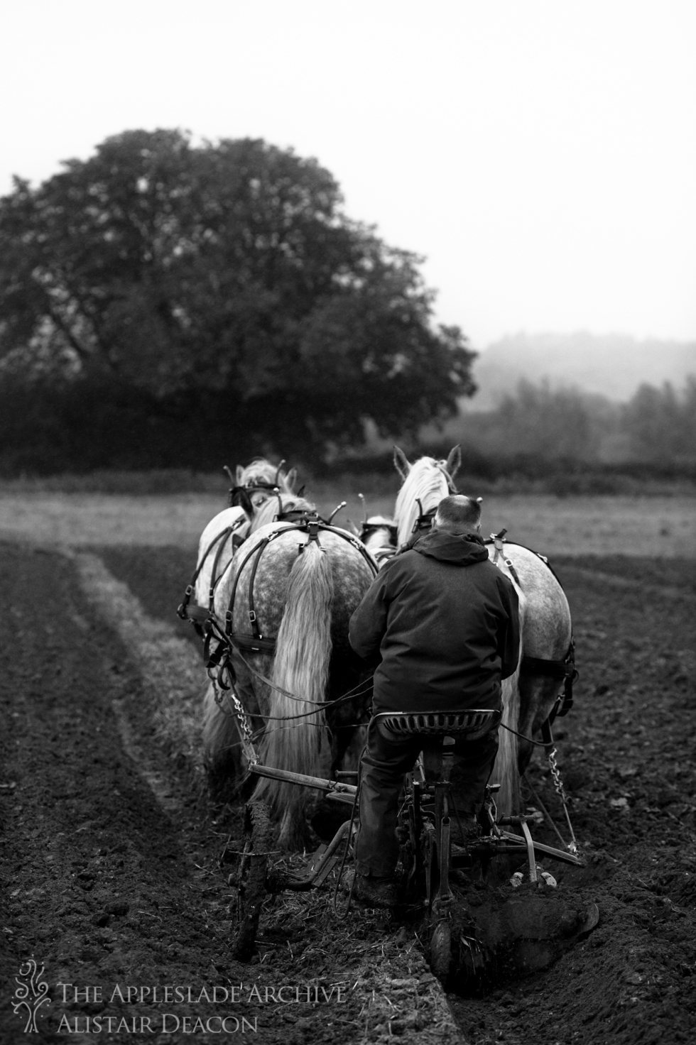Robert Sampson ploughing with a team of Percherons, SCHHA Ploughing Match, Charford Manor Farm, Nr. Breamore, Hampshire, 20th Oct 2013
