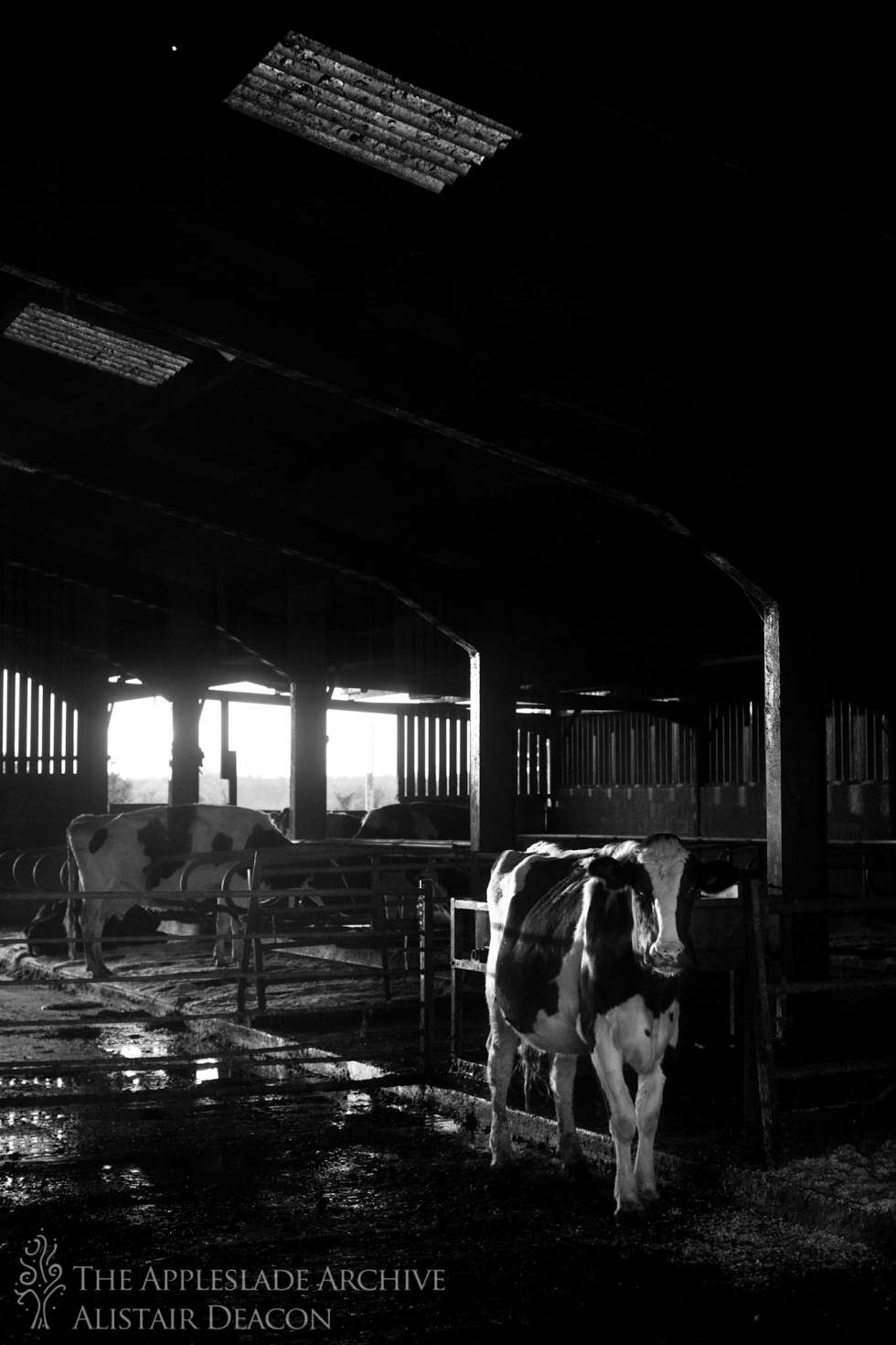 Cattle in the cow shed, Ayles Farm, Avon, Dorset, 22nd Nov 2013
