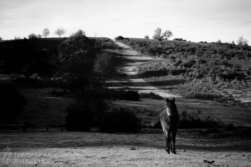 A pony in front of Mt. Hill, Linwood, New Forest, Hampshire, 13th Nov 2013