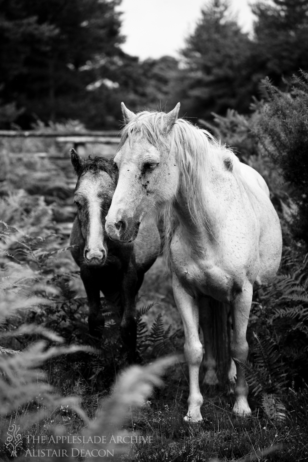 A pony and her foal at Slufters Drift, Slufters Wood, New Forest, Hampshire, 13th Sept 2013