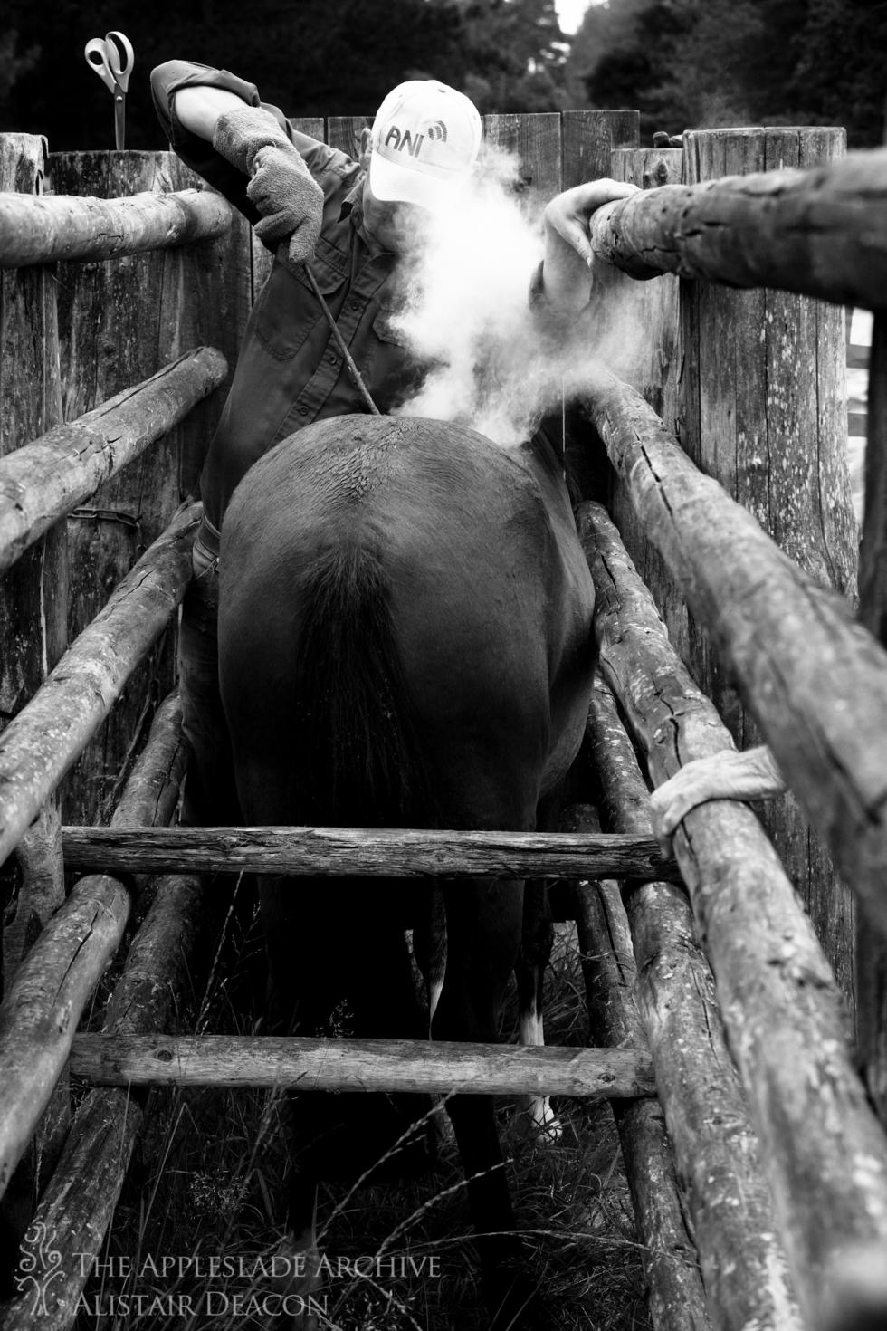 Jonathan Gerrelli branding a pony at the Slufters Drift, Slufters Wood, New Forest, Hampshire, 13th Sept 2013