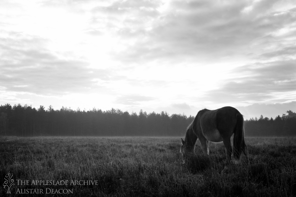 A pony grazes in the morning light, Nr. Slufters Wood, New Forest, Hampshire, 2nd Nov 2013