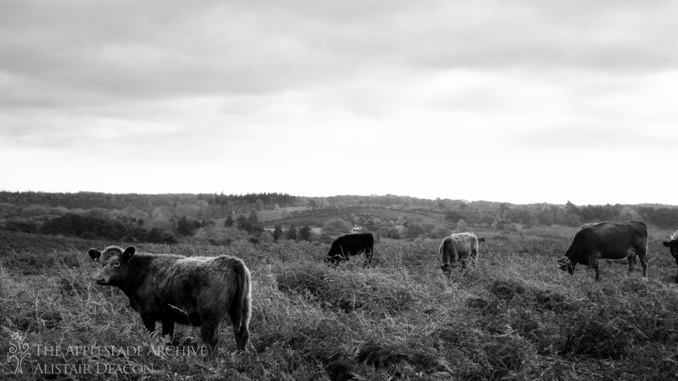 Cattle grazing on Ibsley Common, New Forest, Hampshire, 16th Nov 2013