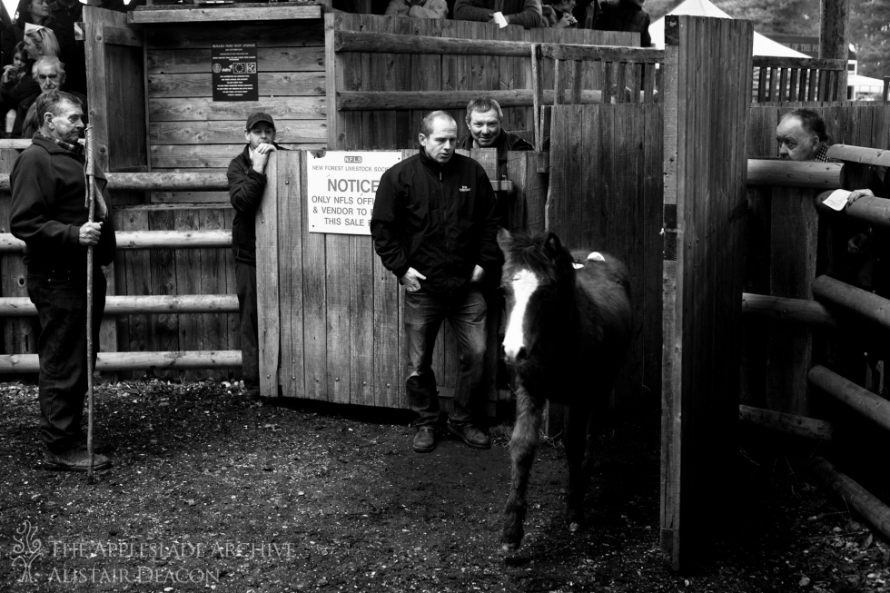 A foal enters the sale ring at Beaulieu Road, New Forest, Hampshire, 28th Nov 2013