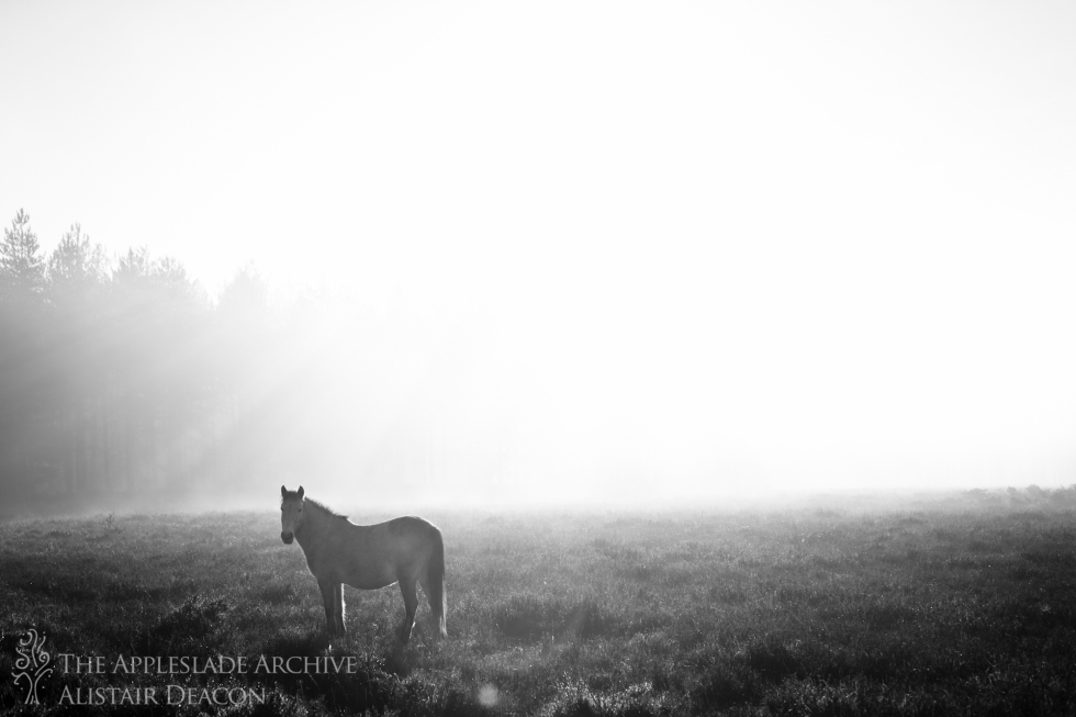 A pony in the morning mist, Nr. Slufters Wood, New Forest, Hampshire, 11th Dec 2013