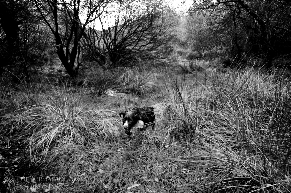 A gundog flushing out game from the undergrowth, St. Enoder, Nr. Fraddon, Cornwall, 9th Nov 2013