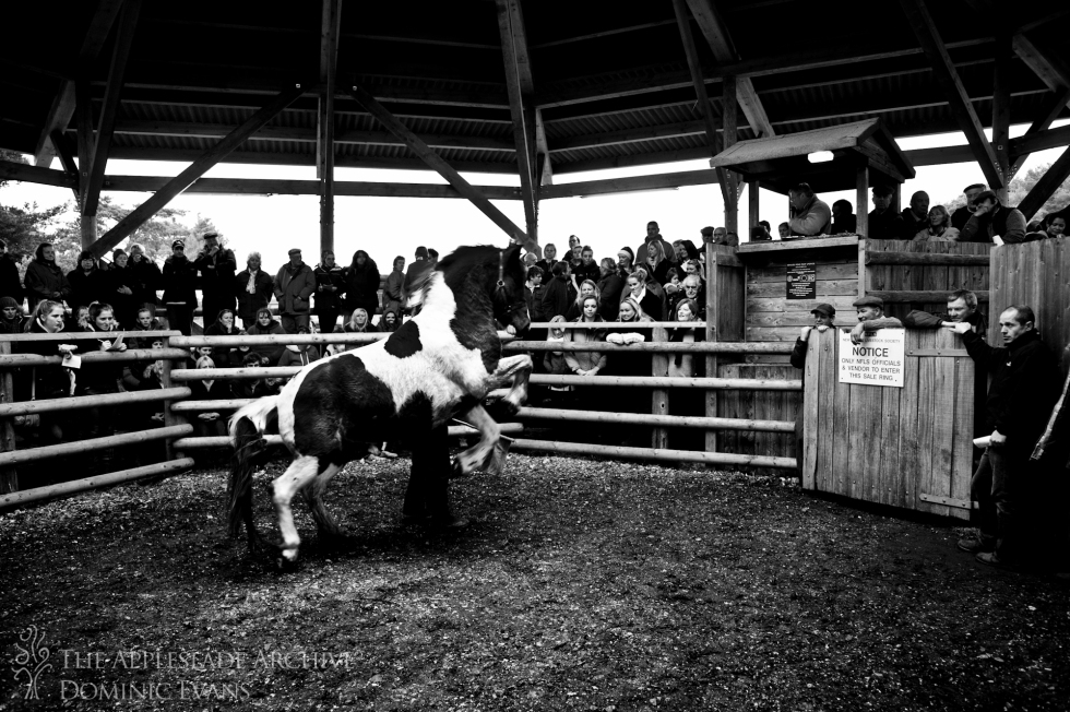 A horse rears in the sale ring at Beaulieu Road, New Forest, Hampshire, 28th Nov 2013