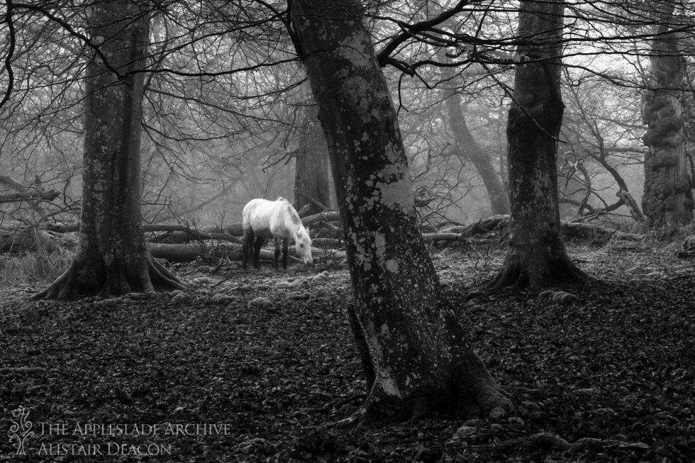 A pony grazing in Mark Ash Wood, Ornamental Drive, New Forest, Hampshire, 21st Jan 2014