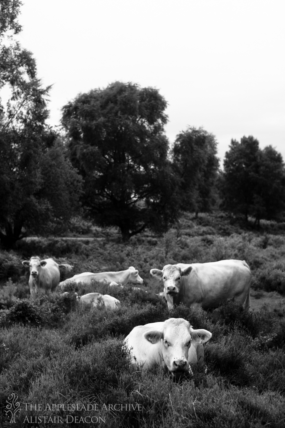 Cattle out on forest, Nr. Dockens Water, New Forest, Hampshire, 4th Aug 2013