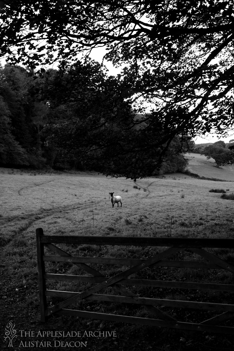 A sheep in a field, Nr. Blisland, Bodmin, Cornwall, 12th Oct 2013