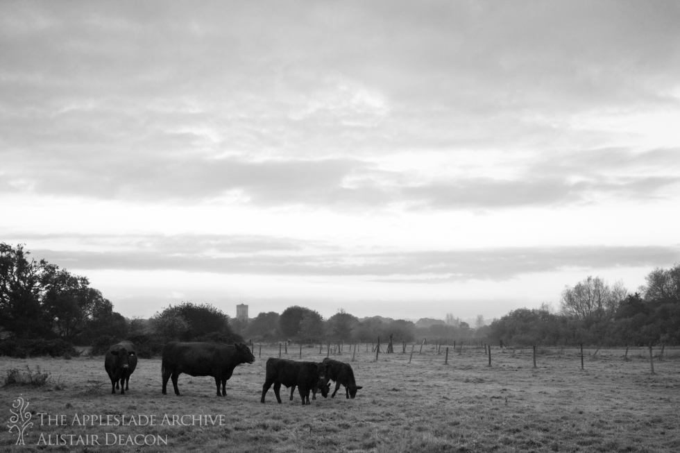 Red Polls on the watermeadows at dawn, Nr. Ringwood, Hampshire, 2nd Nov 2013