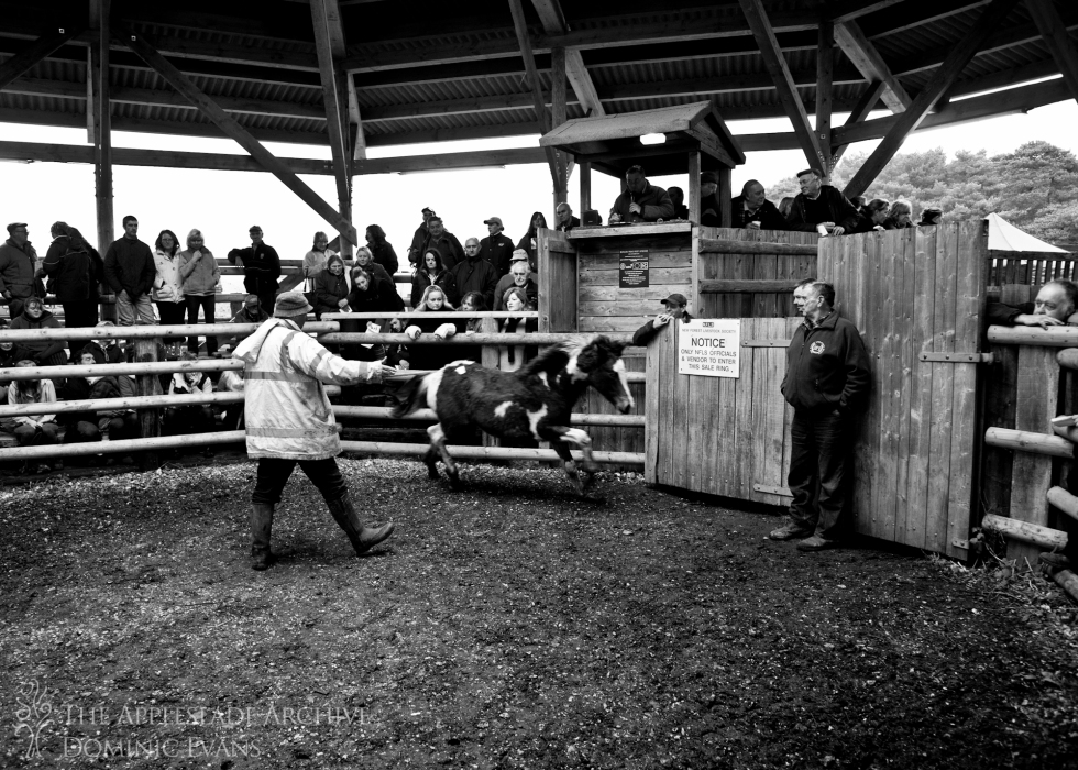 John Grey moving a pony around the sale ring, Beaulieu Road, New Forest, Hampshire, 28th Nov 2013