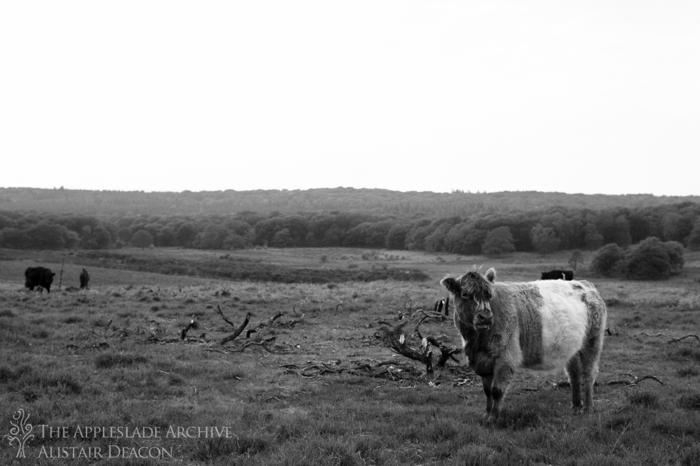 Cattle out on forest, Nr. Akercombe Bottom, New Forest, Hampshire, May 2014