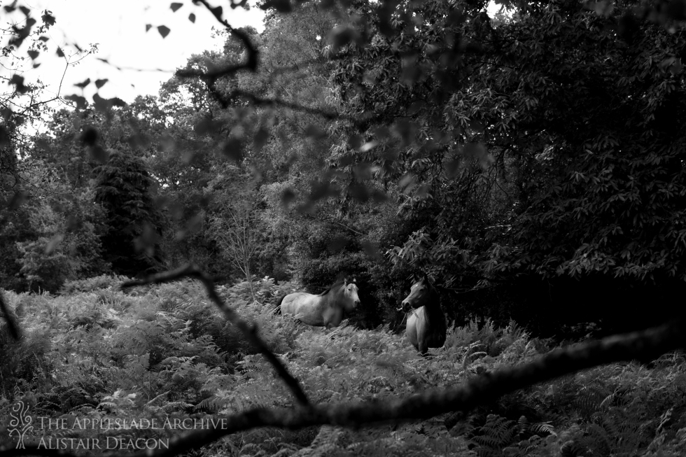 Ponies on forest, Linwood, New Forest, Hampshire, August 2014
